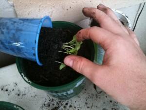 Bhut Jolokia Sprouts
