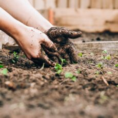 chilli plant care